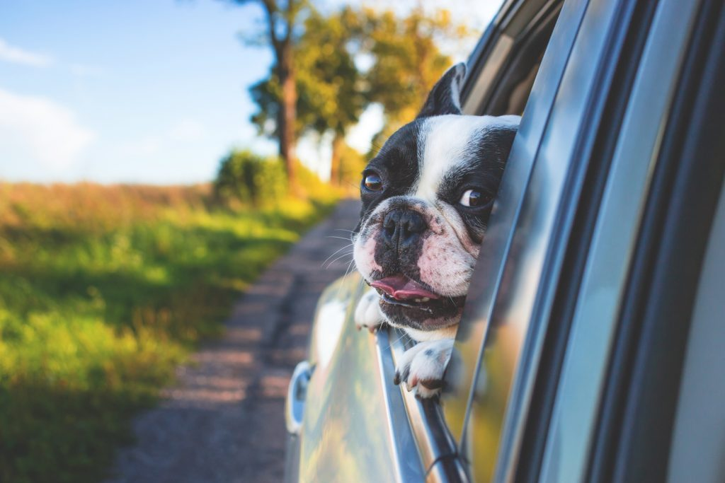 A dog putting its head out the side of a moving cars window with its ears blowing in the wind